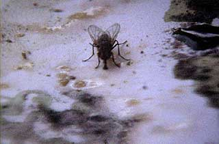 Fly eating mold