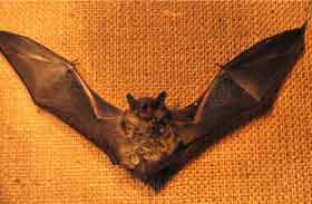 Bat with its wings spread