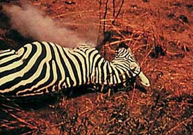 Film still of Unsere Afrikareise featuring a dead zebra